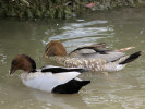 Male/Female Australian Wood Duck (Slimbridge June 2011)